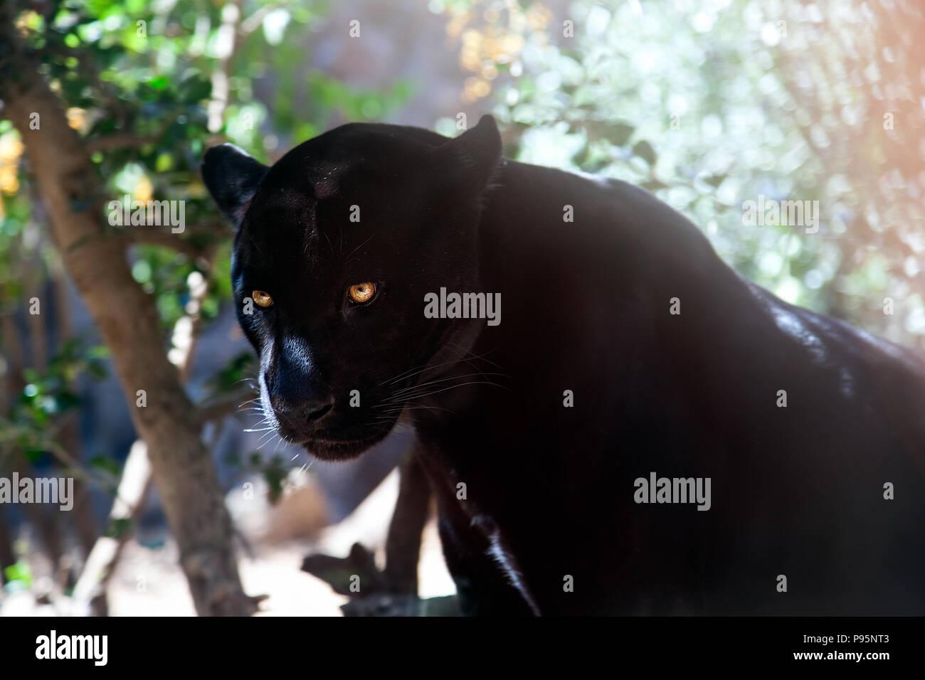 Black Panther (Puma) gefährlicher Räuber auf der Suche nach