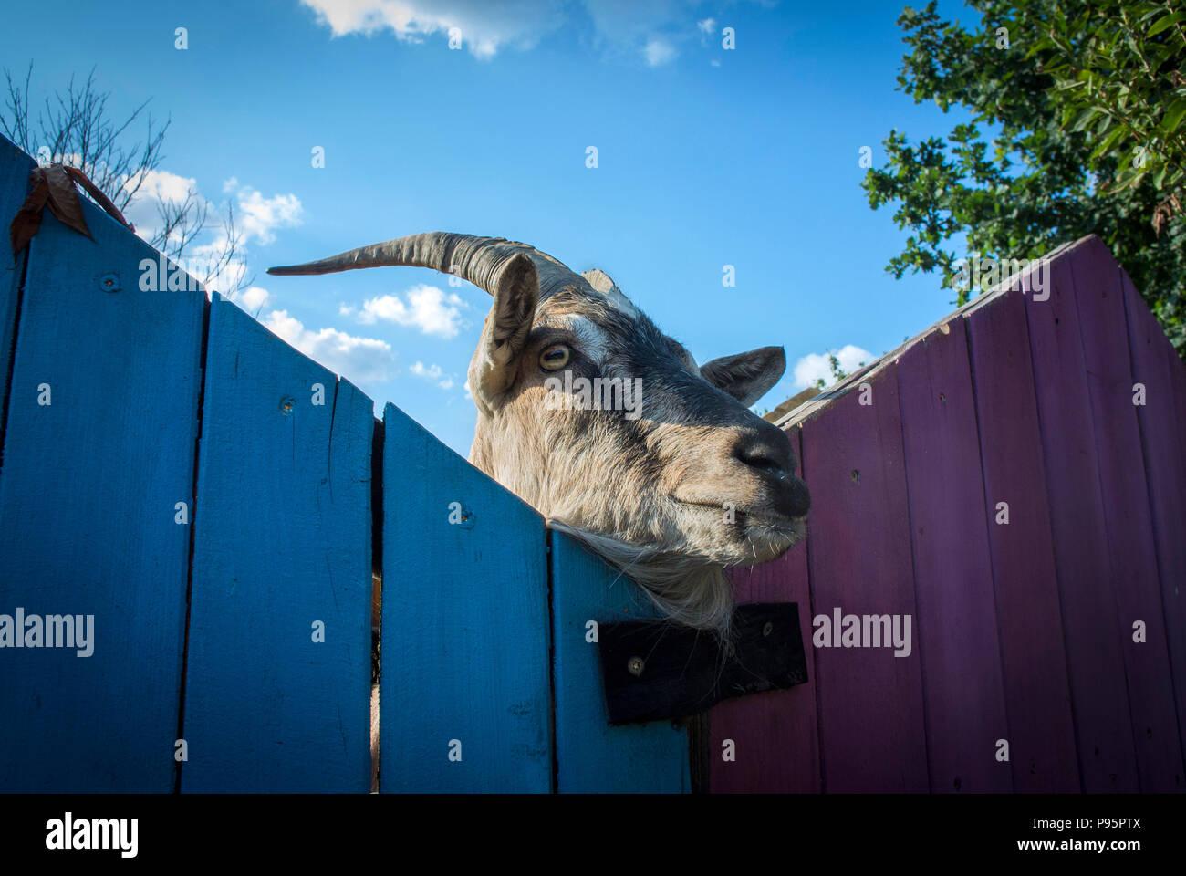 Eine Ziege wirft einen Blick um über den Zaun zu seiner Gehäuse. Stockfoto