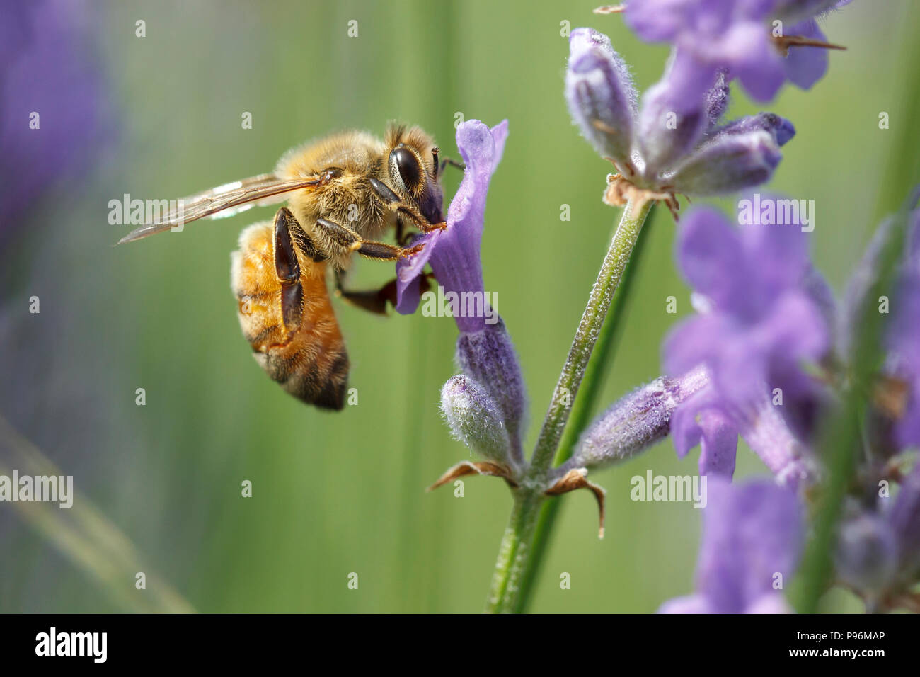 Eine Nahaufnahme einer Honigbiene, Apis, auf einem Lavendel Pflanze, Lavandula spica. Stockbild