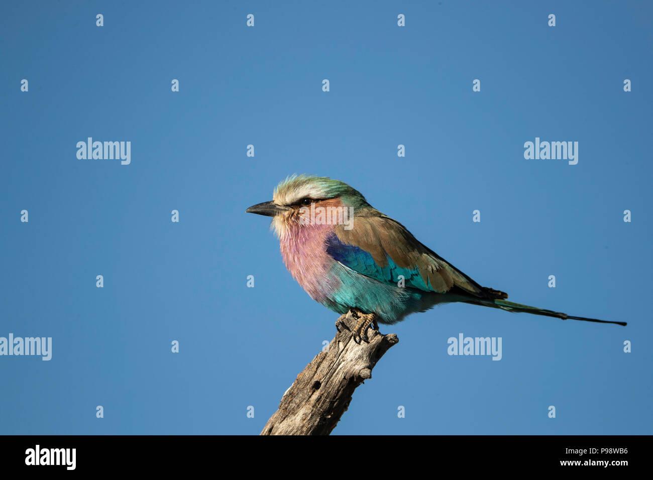 Lilac Breasted Roller auf einer Stange Stockbild