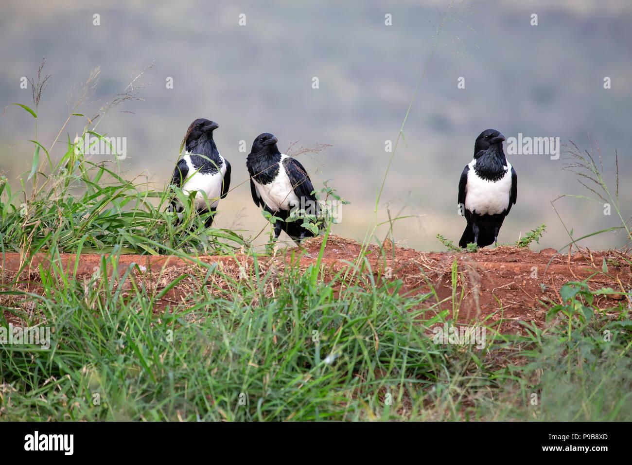Drei Pied Krähen Corvus Albus auf dem Boden in einem gemeinsamen scavenging Website auf einem Game Reserve in Südafrika Stockbild
