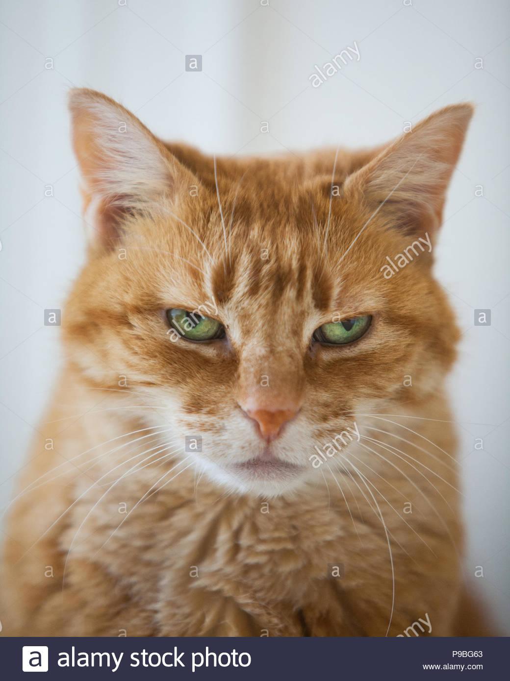 In der Nähe von grumpy Suche orange tabby Katze mit grünen Augen mit Augen halb geschlossen Stockbild