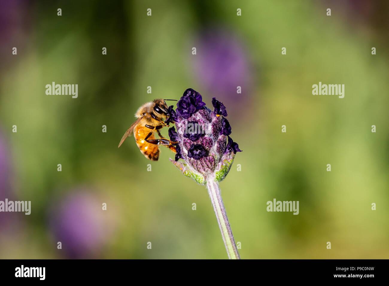 Eine Makroaufnahme einer Honigbiene besucht eine kleine angehende Rosmarin Blumen in einem Park in Yokohama Stockbild