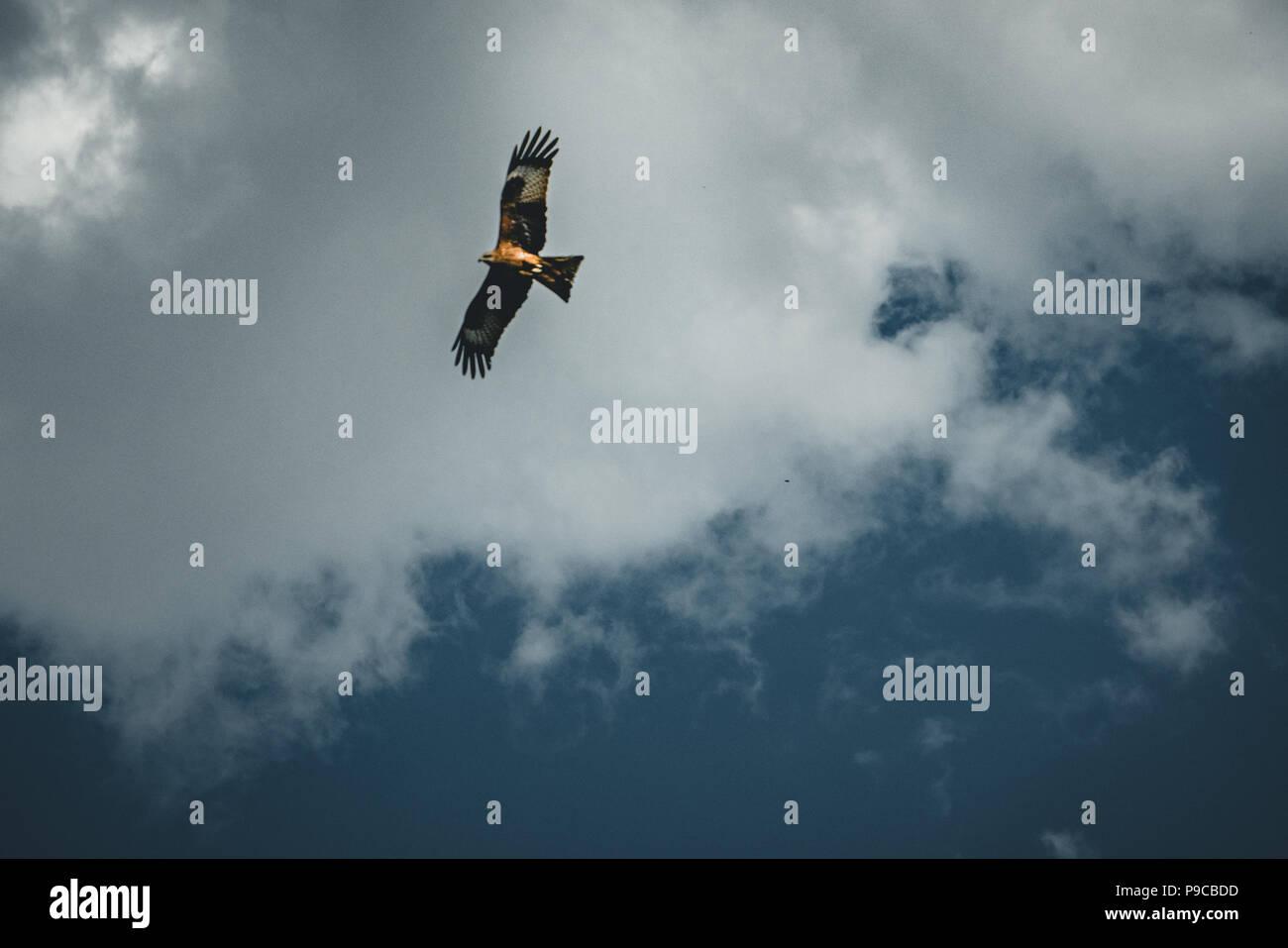 Adler fliegen über blauen Himmel und Wolken Stockbild