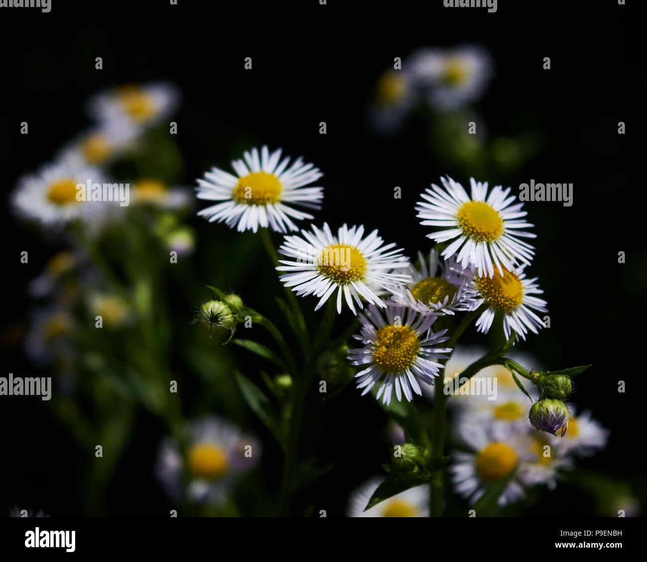 Weisse Blumen Schwarz Hintergrund Isoliert Stockfoto Bild 212380437