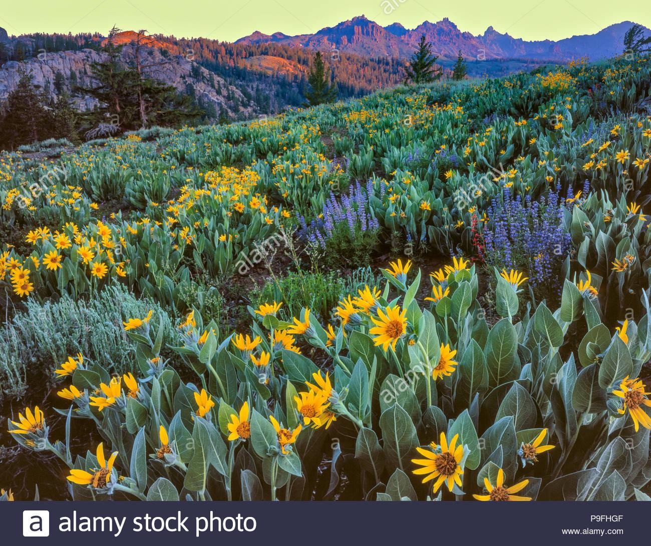 Arrowleaf Balsam Wurzel, Balsamorhiza sagittata, Lupin, Lupinus angustifolius, Carson-Iceberg Wüste, Toiyabe National Forest, Sierra Nevada Doppelzi. Stockbild