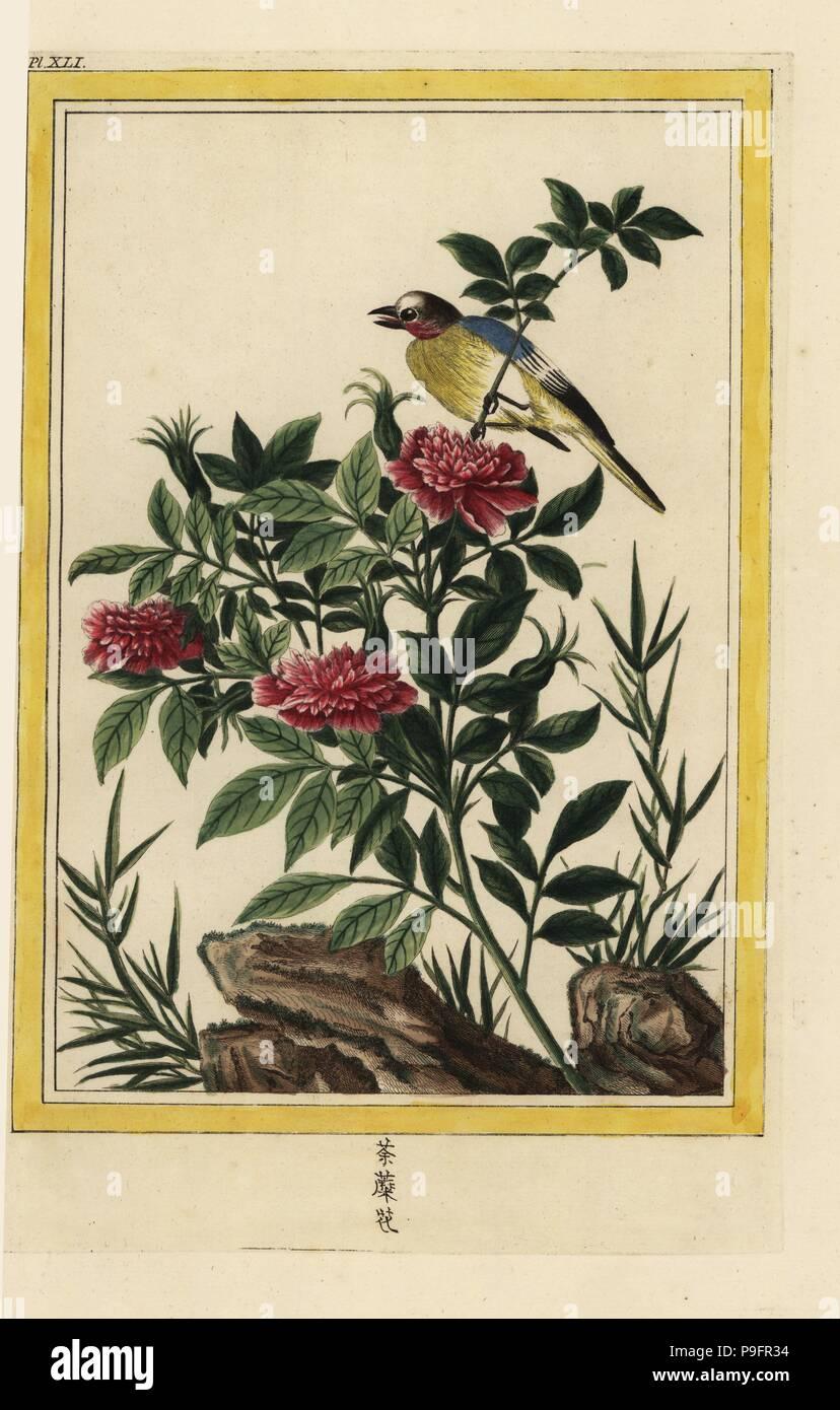 La Petite rose de la Chine 5 feuilles et a fleurs Doubles. Doppel ...