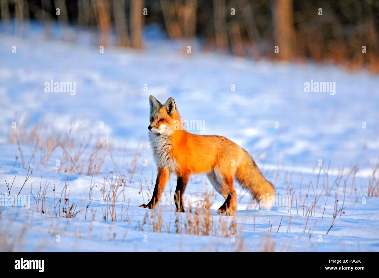 Schonen Roten Fuchs Im Winter Stehend In Die Verschneite Wiese An