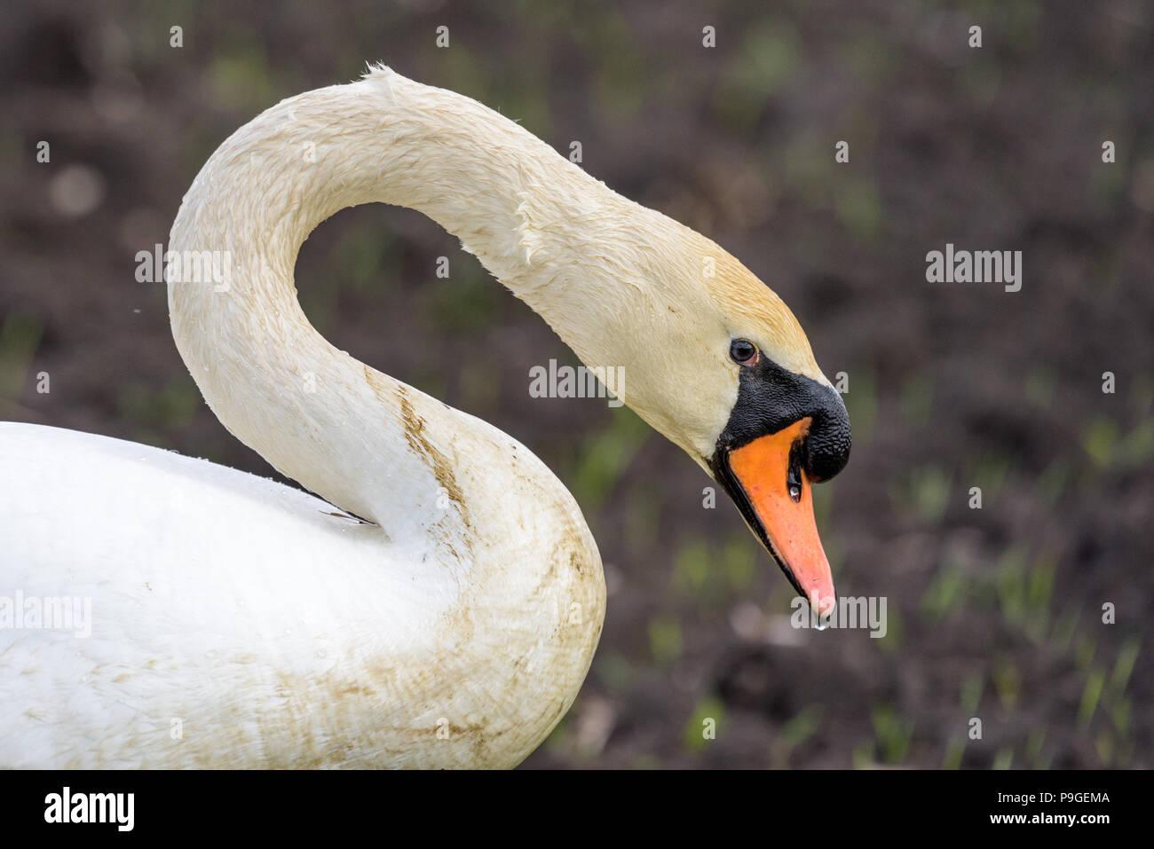 Porträt einer Mute swan (sygnus olor). Die Schwan hat gerade das Wasser links und Wassertropfen sind immer noch auf den Federn und Schnabel sichtbar. Stockbild