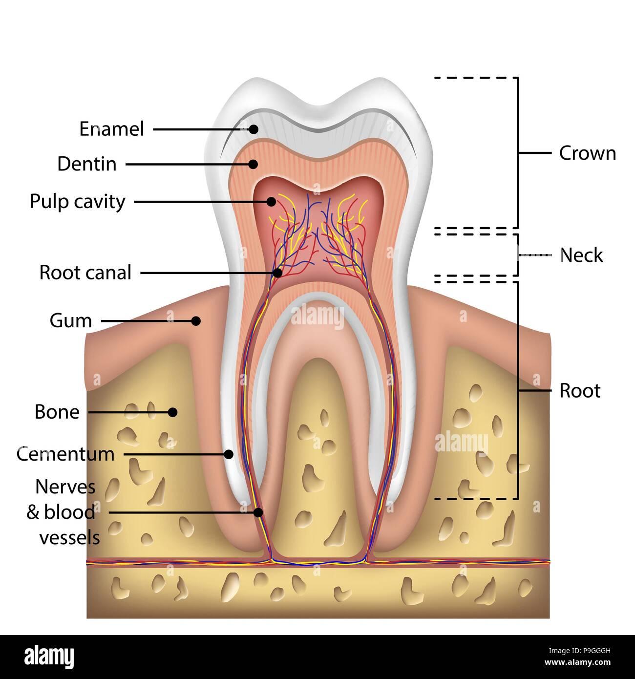 Zahn Anatomie Infografiken. Realistische weiße Zahn Mockup. Oral ...