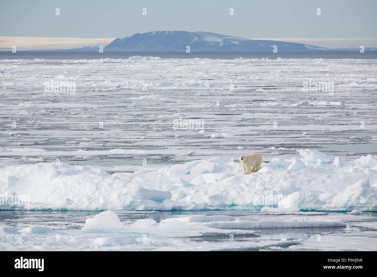 Eisbär auf Eis in der Nähe von Spitzbergen Stockfoto