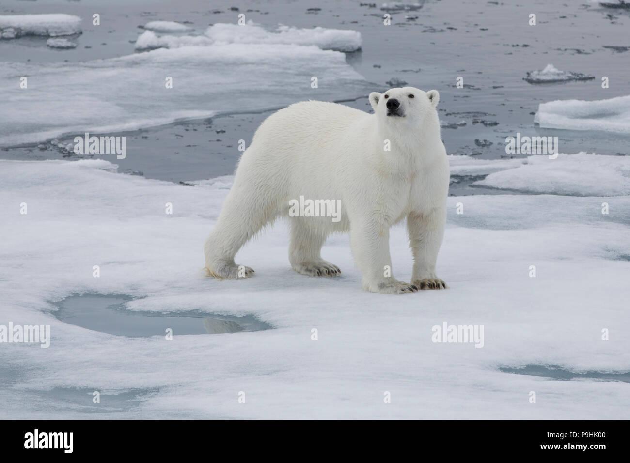 Polar Bear walking auf dünnem Eis in der Nähe von Spitzbergen Stockbild