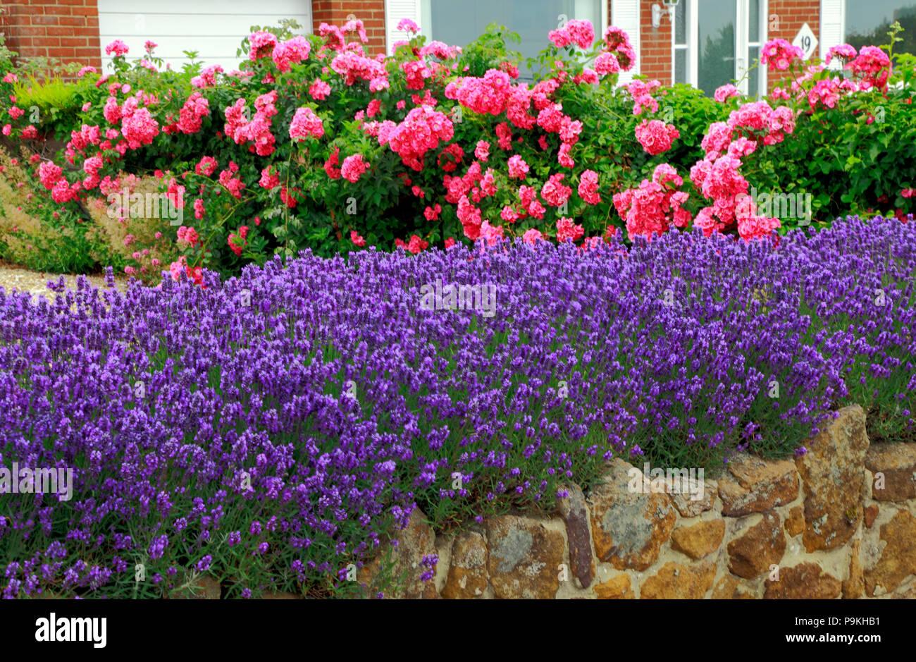 Top Blau, Violett, Lavendel, Rosen, Garten, Wand, Lavandula, Rosa #US_38