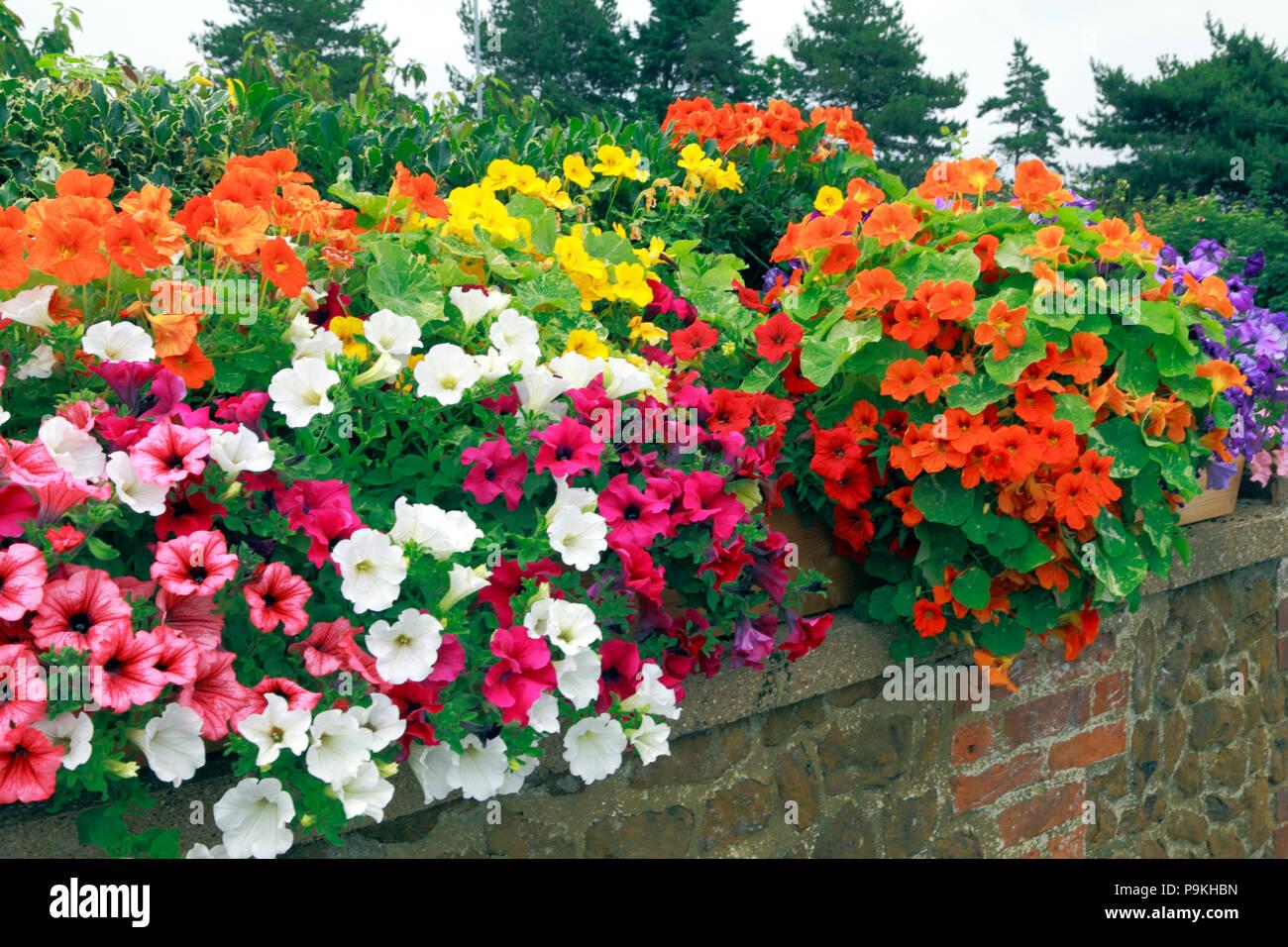 Garten Wand, Petunien, blau, orange, pink, weiß, gelb Farben Stockbild