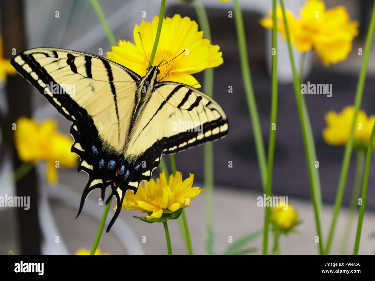 Atemberaubende Schwalbenschwanz Schmetterling Fütterung auf ein coreopsis Blume mit seinem Rüssel. Stockbild
