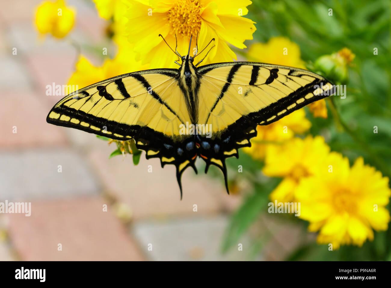 Schöne Schwalbenschwanz Schmetterling Fütterung auf ein coreopsis Blume mit seinem Rüssel. Stockbild