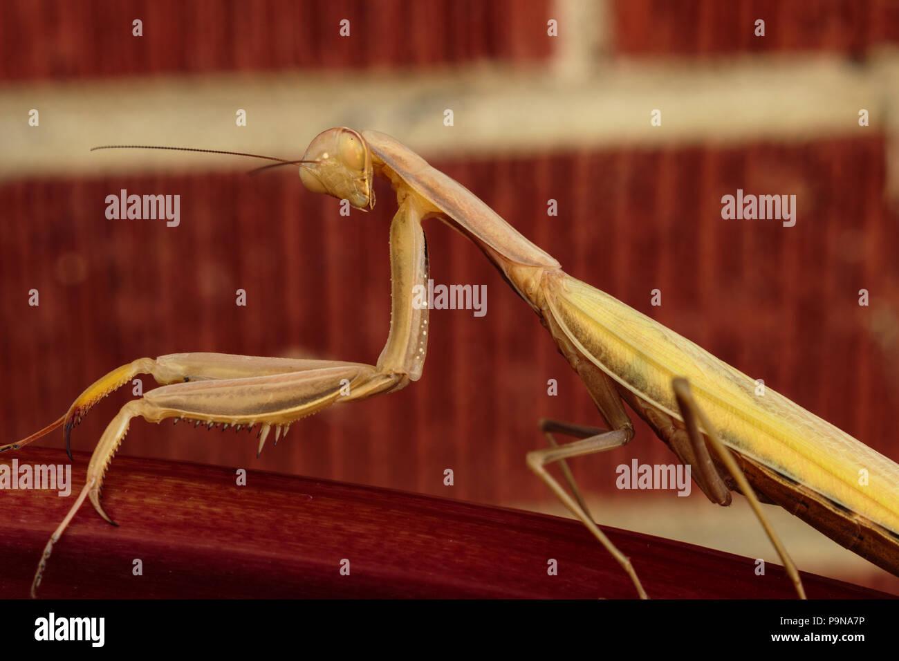 Ein preying Mantis tiliting seinen Kopf, während sie mit der Rechten an Sie Stockbild
