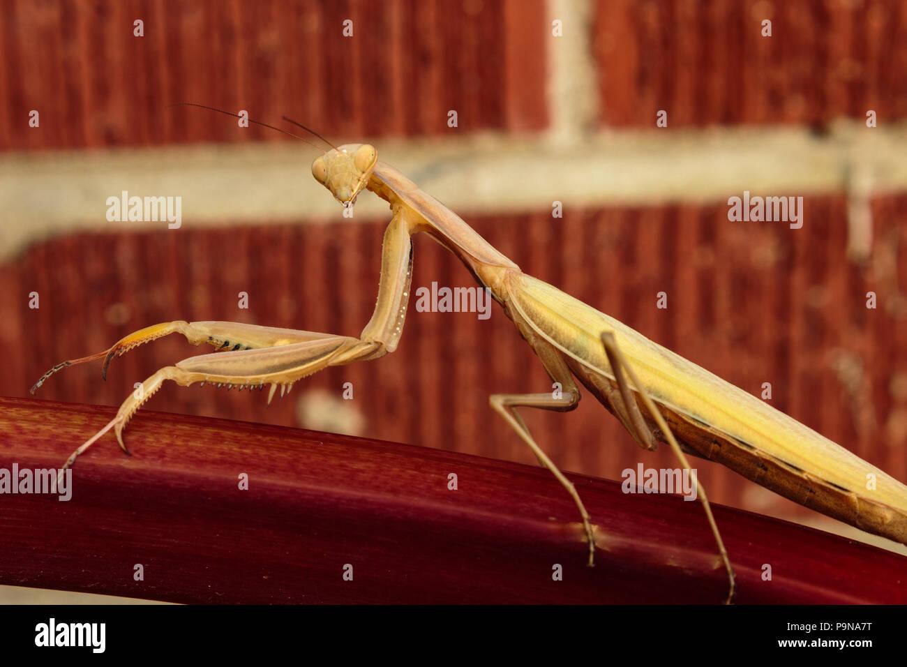 Ein preying Mantis auf einen Stiel mit Rhabarber suchen direkt an Sie Stockbild