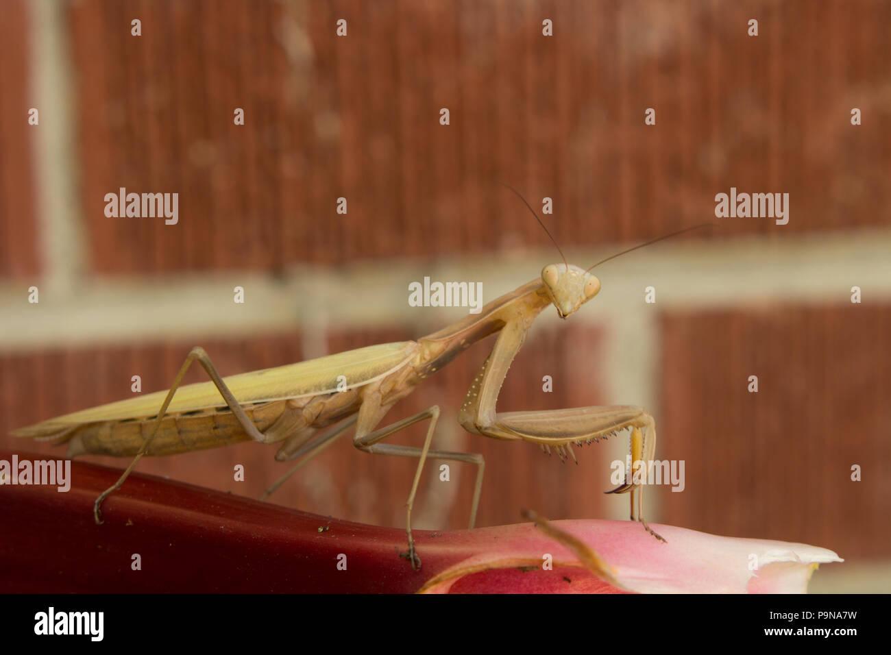Ein preying Mantis auf einen Stiel mit Rhabarber sie herauf. Stockbild