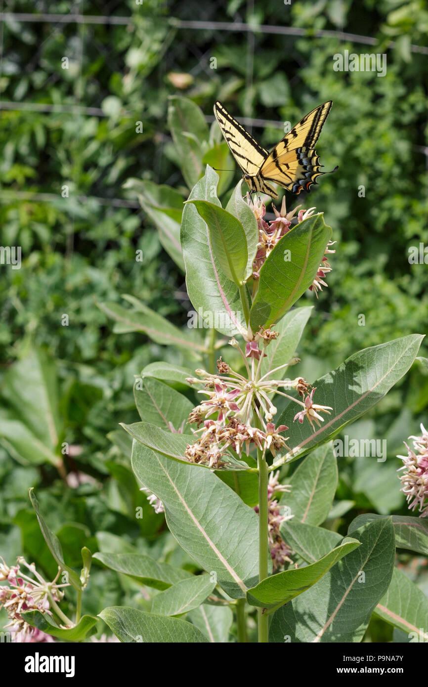 Ein Schwalbenschwanz Schmetterling auf einem milkweed Sumpf Blume im Garten Stockbild