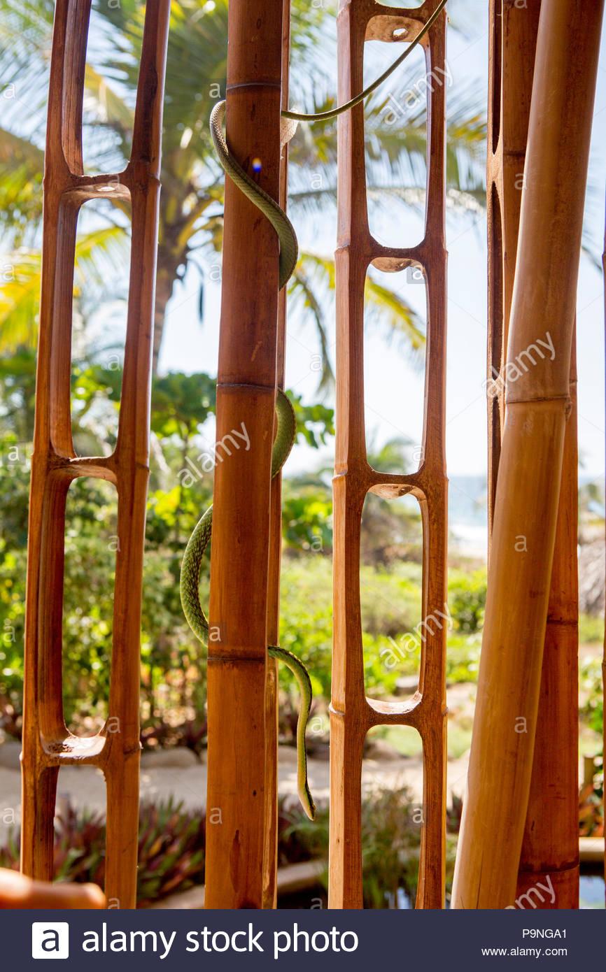 Eine mexikanische Parrot Schlange macht seinen Weg hinunter einen Bambus Struktur. Stockbild
