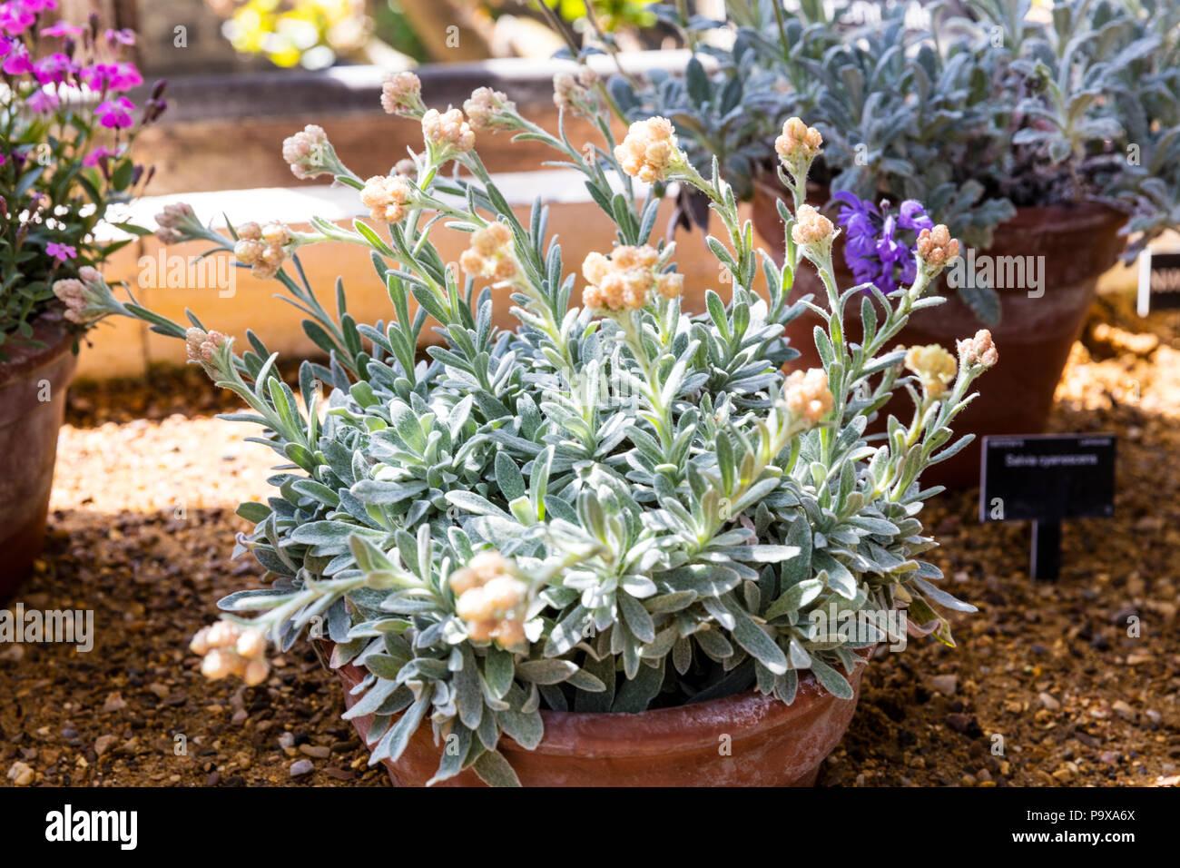 helichrysum orientale, ewige blumen, ewige blumen pflanze, ewige