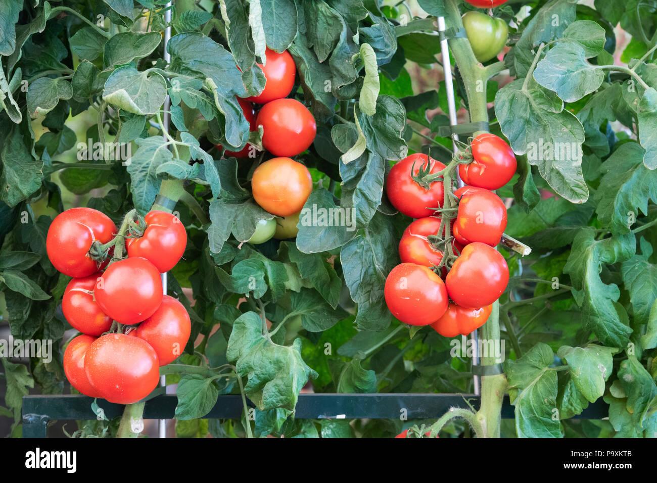 Klettergerüst Tomate : Oh glücklicher tag stockfotos & bilder alamy