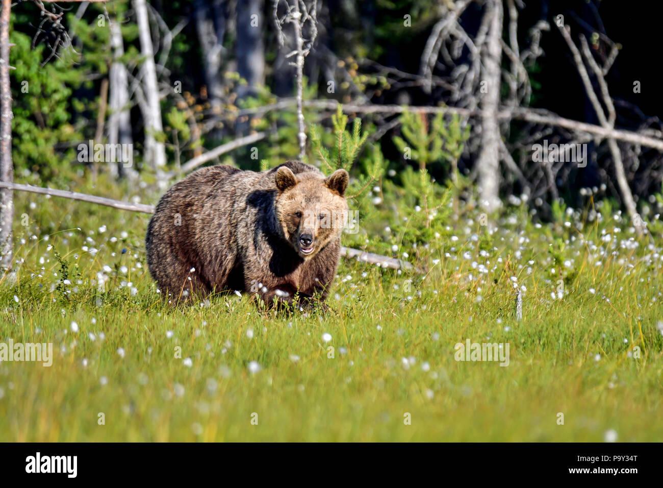 Braunbär ist die Eingabe in die offene Sumpf aus dem Wald. Obwohl, es ist noch nicht sicher, ob es sicher ist, was zu tun ist. Stockfoto