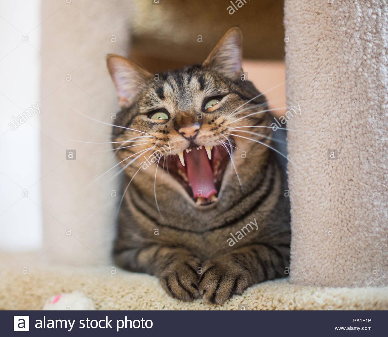 Tabby Katze auf eine Katze Baum gähnen Mit herausgestreckter Zunge und ein lustiger Ausdruck Stockbild
