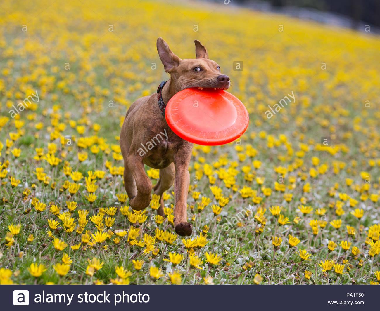 Braune pitbull mix Hund läuft durch ein Feld von Löwenzahn mit einem Frisbee im Maul Stockbild