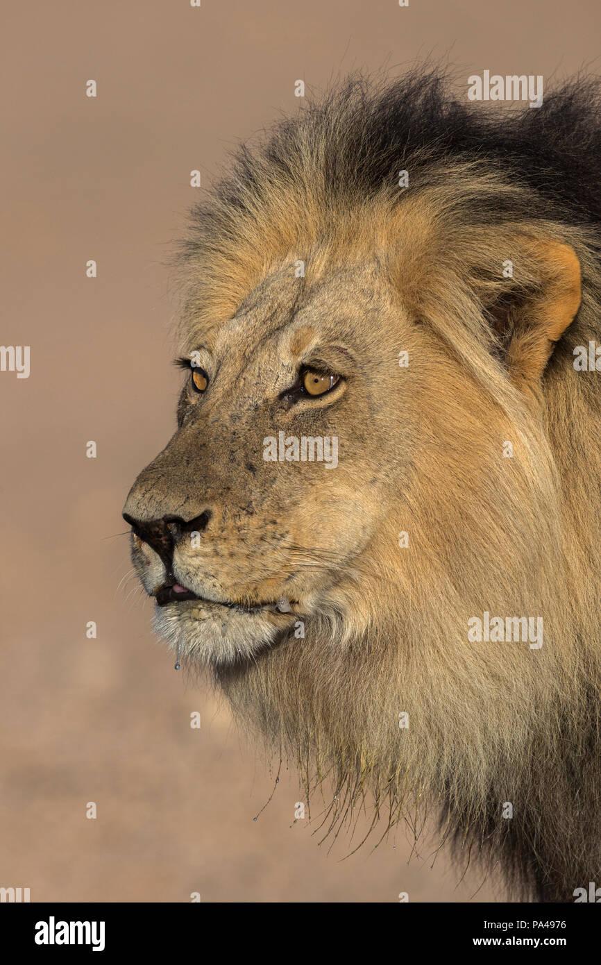 Löwe (Panthera leo) männlich, Kgalagadi Transfrontier Park, Südafrika, Stockfoto