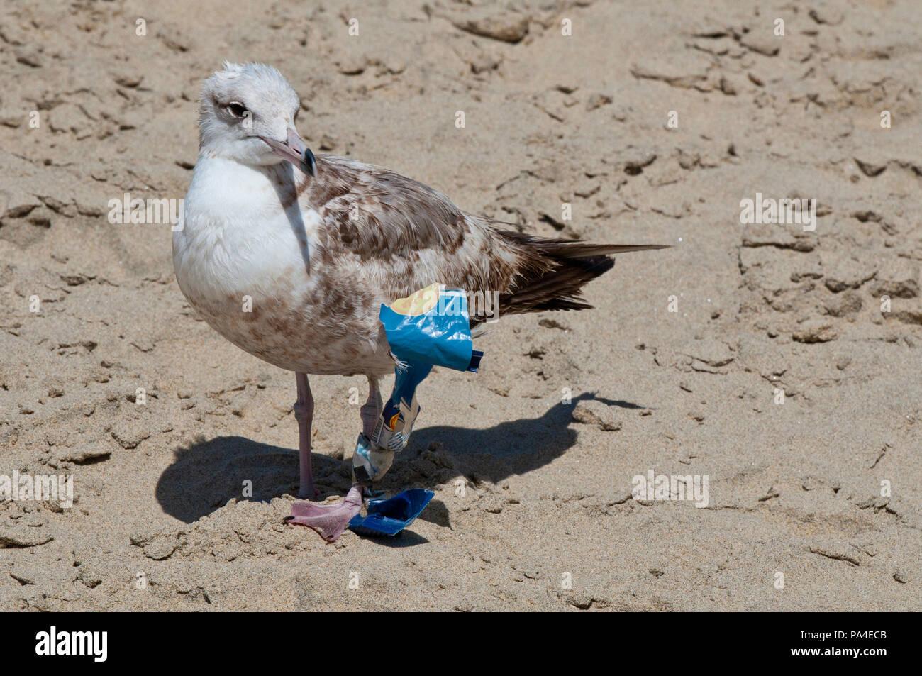 Möwe mit Müll am Bein fest auf einem Strand in Baja California Sur in der Nähe von Todos Santos Stockbild