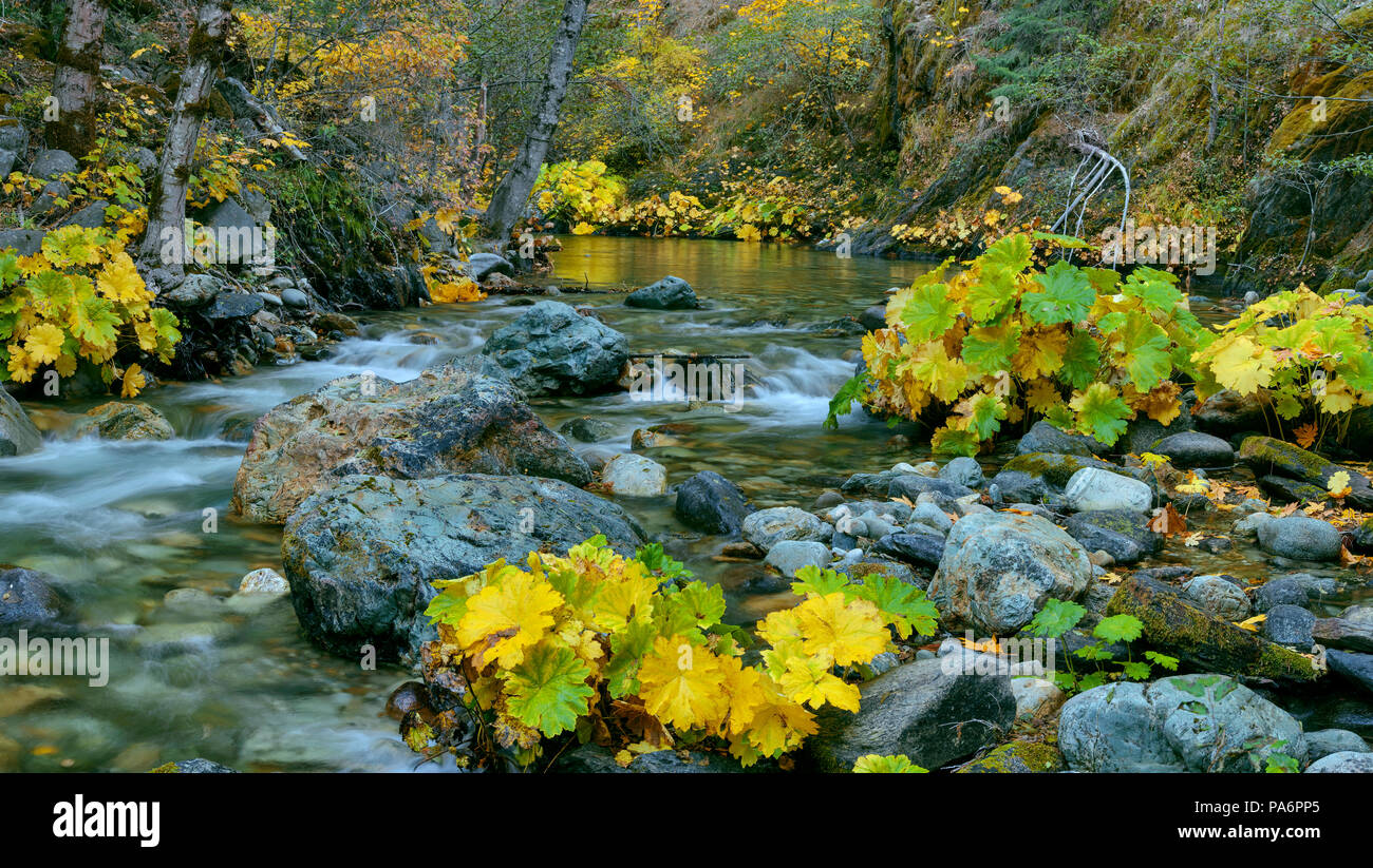 Indische Rhabarber, Darmera Peralta, Lavezzola Creek, Tahoe National Forest, Kalifornien Stockbild
