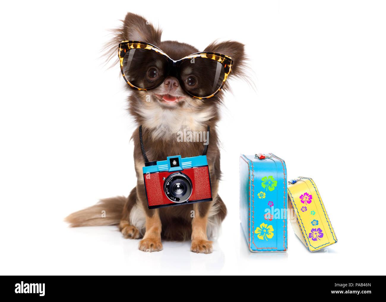 Chihuahua Hund suchen so cool mit Sonnenbrille und Foto Kamera bereit für den Sommer Urlaub, mit dem Gepäck auf weißem Hintergrund isoliert Stockfoto
