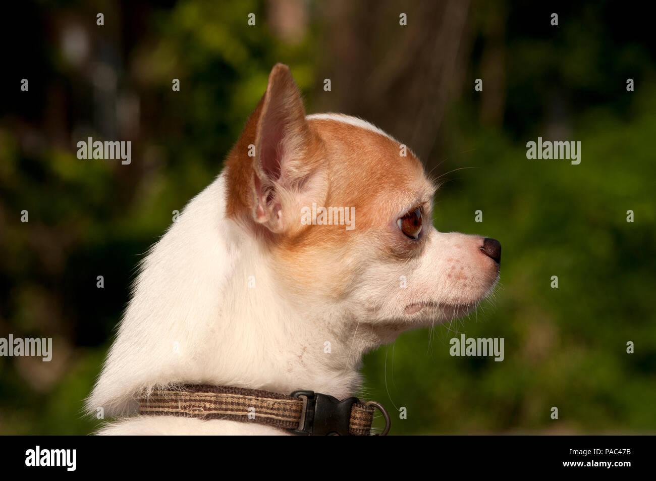 Chihuahua - Portrait - Canis familiaris Stockbild