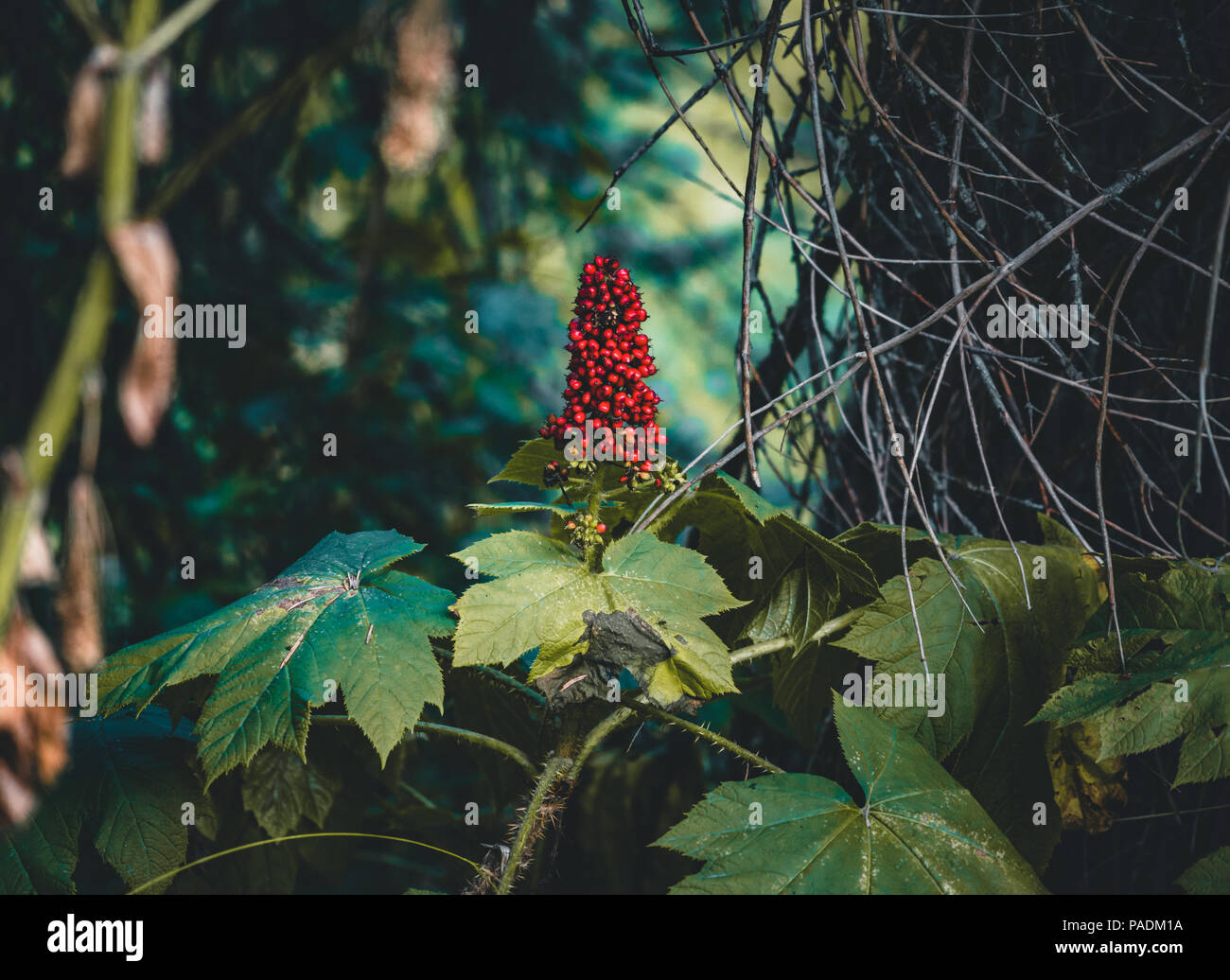 Kirsche rote Beeren - Season's beste Ansicht Cranberrry. Stockbild