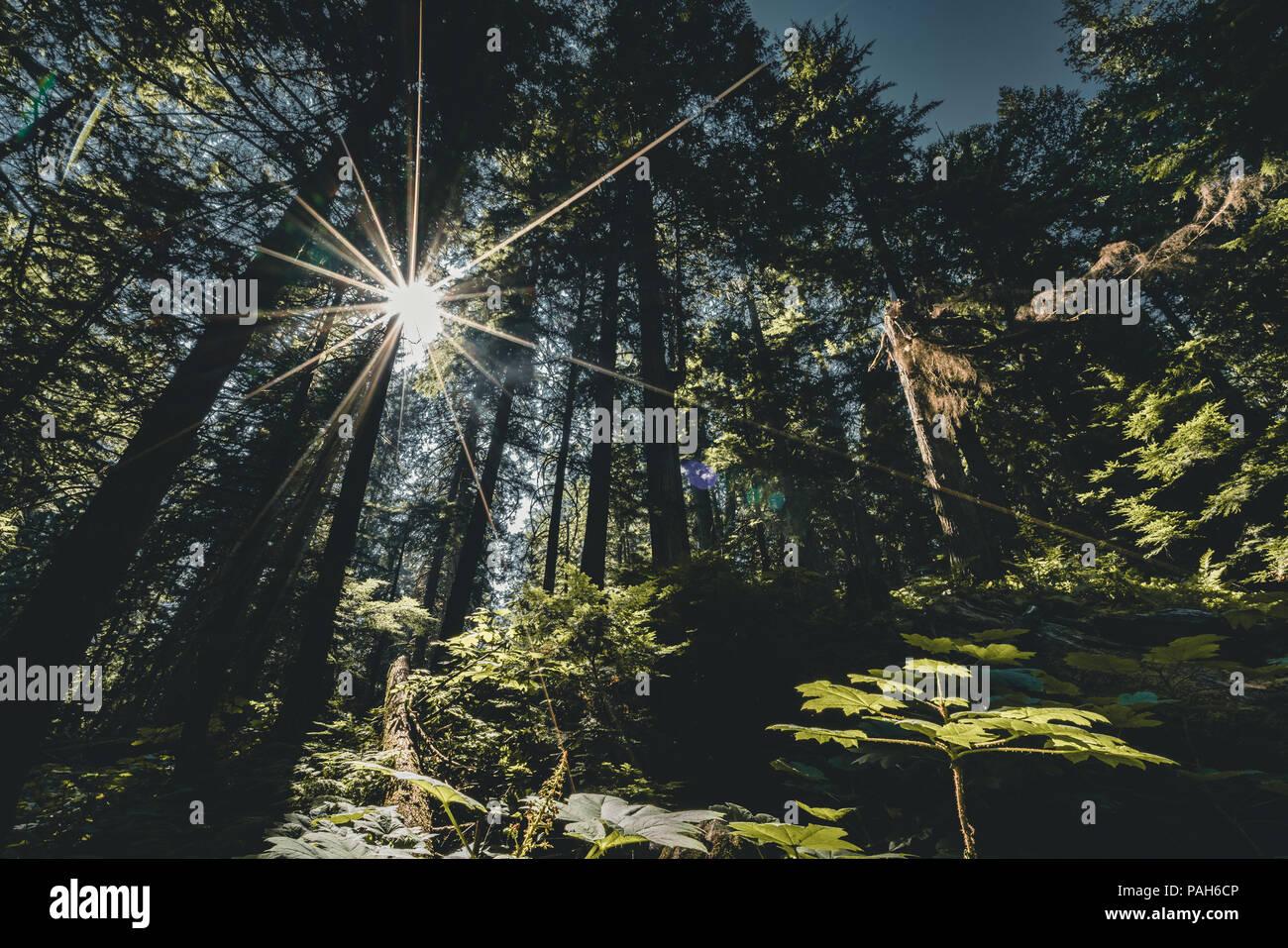 Sonne scheint durch ein Redwood Bäume Wald in Mount Revelstoke National Park. British Columbia. Stockbild
