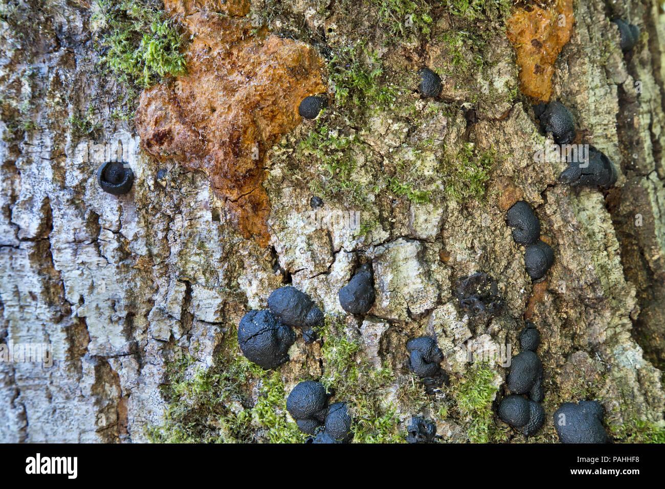 Plötzlicher Eiche Tod (SOD) Krankheit' Phytophthora ramorum'. Stockbild