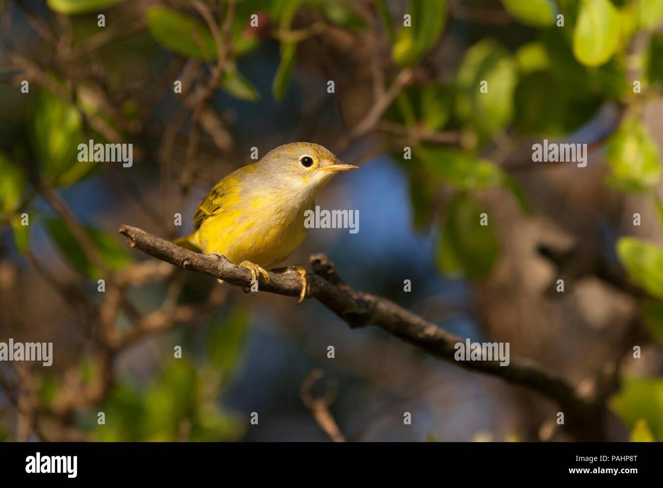 Yellow Warbler, Galapagos Inseln Stockbild
