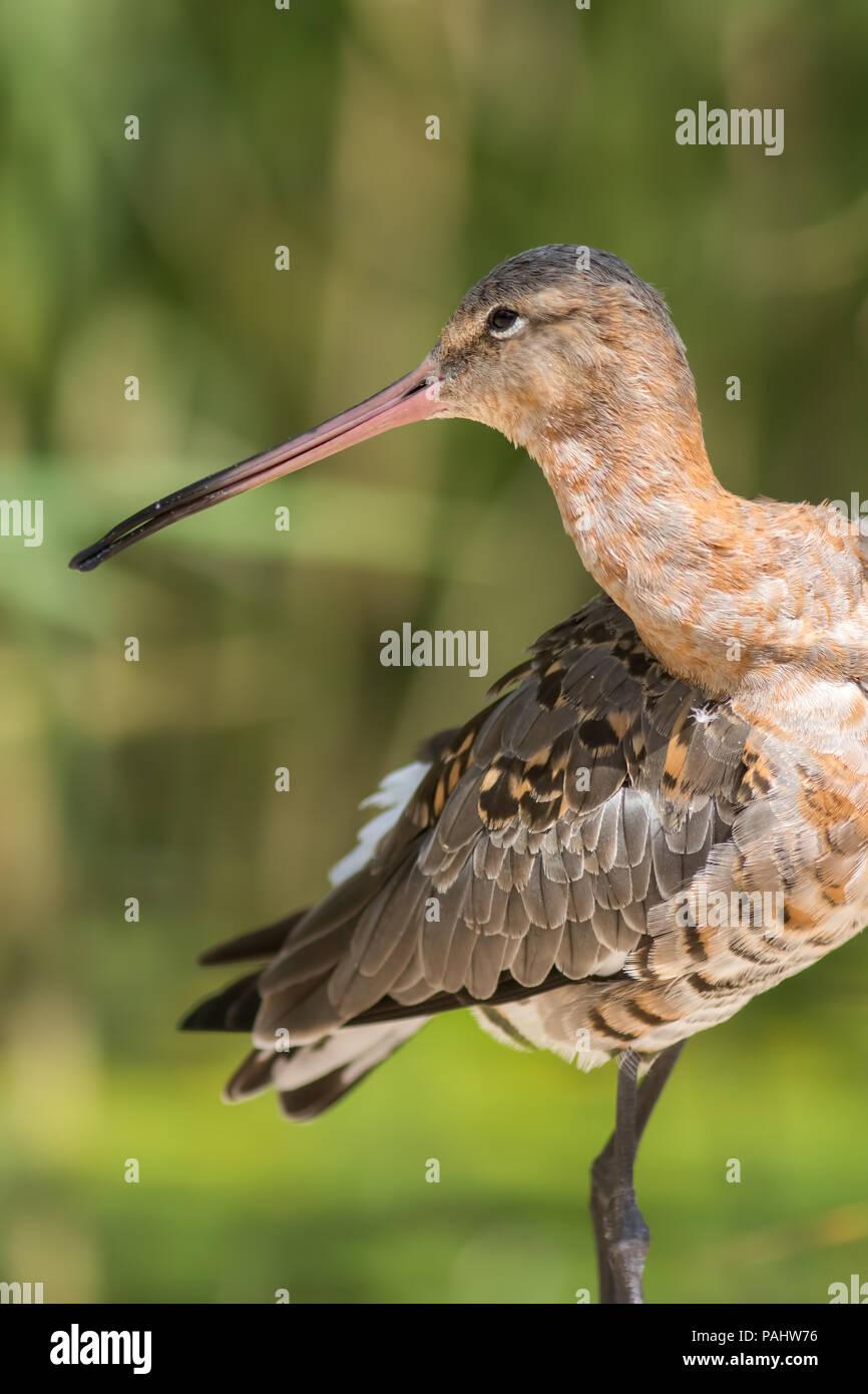 Uferschnepfe (Limosa limosa) Vogelarten. Schöne Ornithologie und Wildlife Bild dieser Shorebird gegen grüne Natur Hintergrund verschwommen. Stockbild