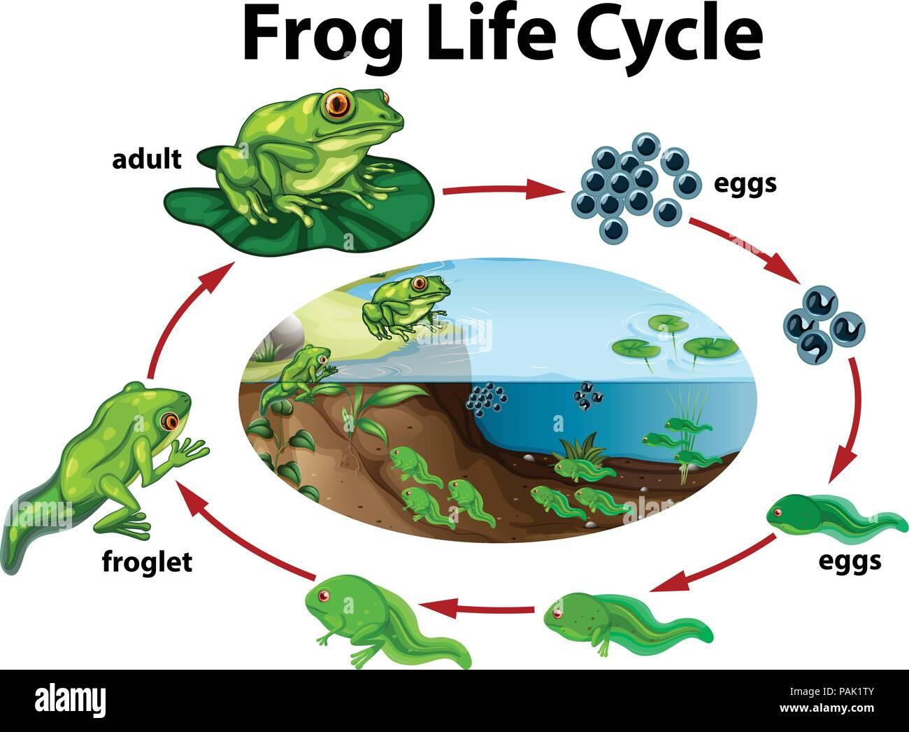 Ein Frosch Lebenszyklus Abbildung Stock Vektorgrafik   Alamy