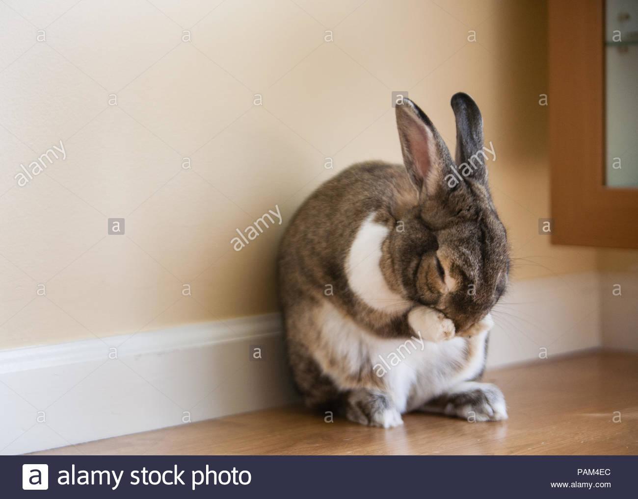 Traurig aussehende braune und weiße Kaninchen sitzen gegen die Wand Hand in Pfoten Stockbild