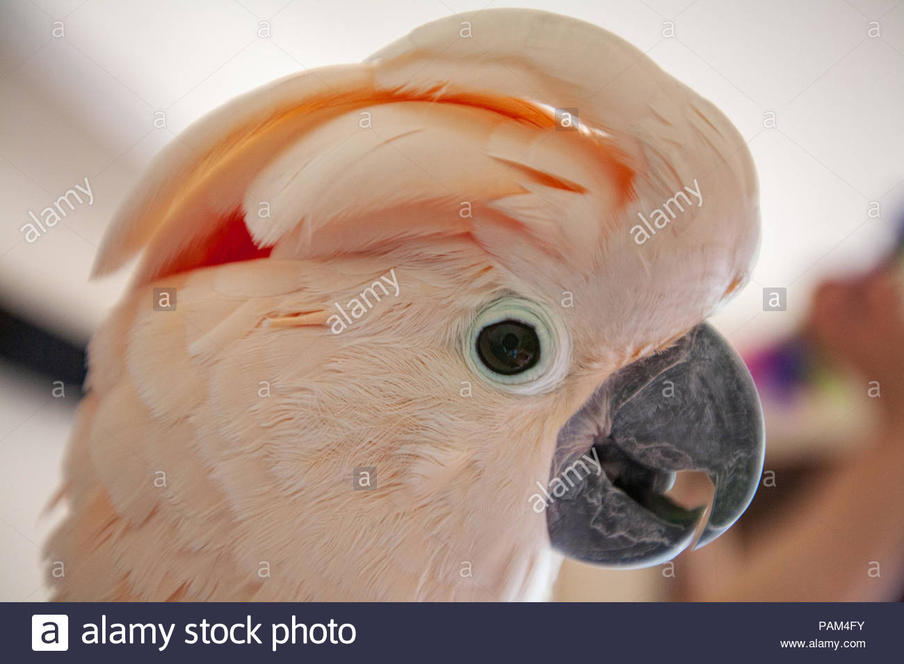 Close-up Portrait von Molukkischen Kakadu Vogel im Profil Stockbild