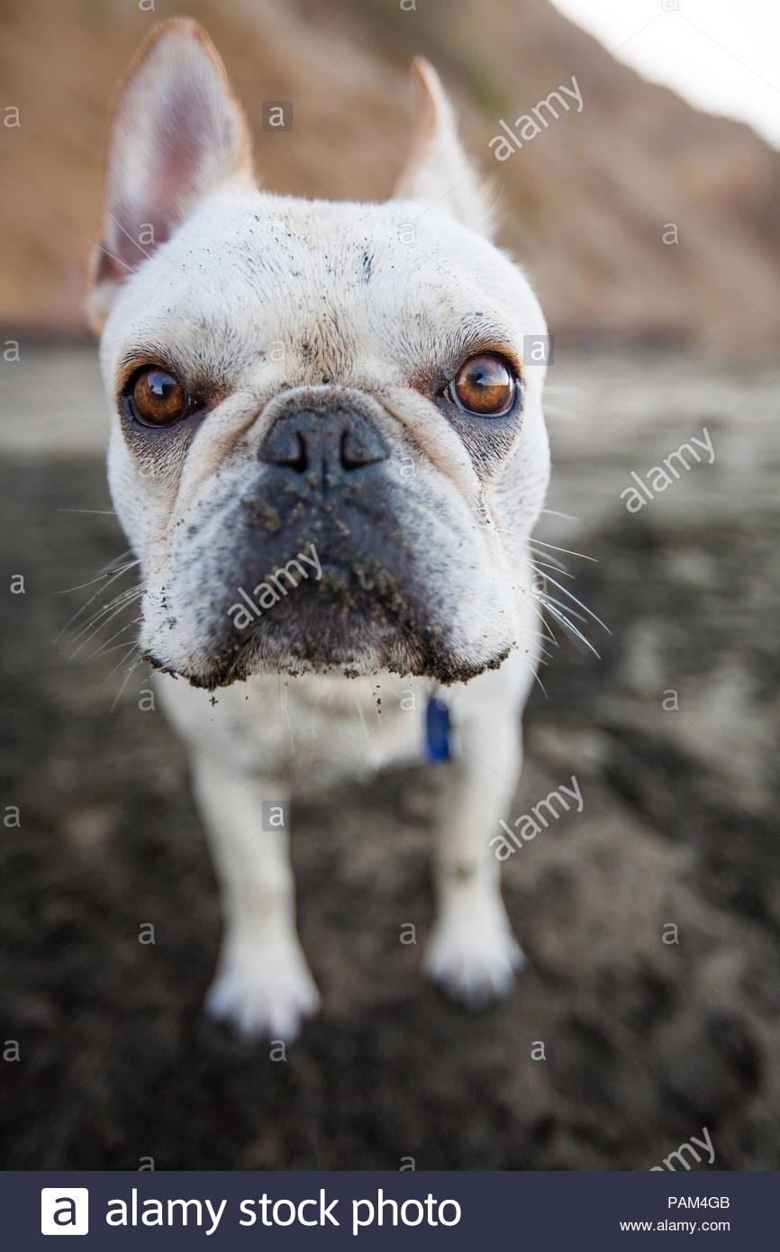 Weitwinkelobjektiv, close-up der Weißen französische Bulldogge im Sand am Strand. Stockbild