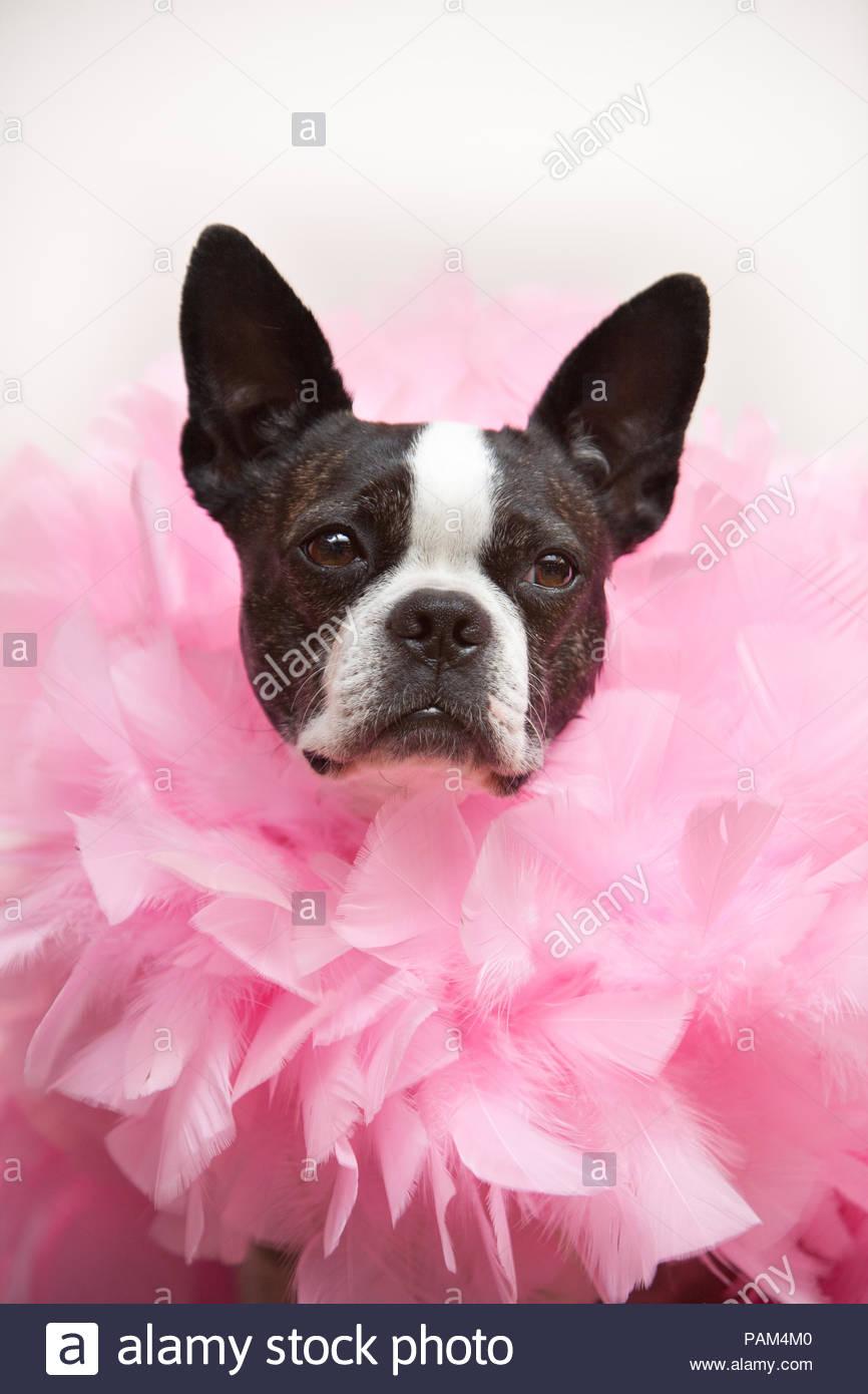 Boston Terrier mit ernsten Ausdruck tragen ein Gefiederter pink Boa im Kopf gegen Weiße studio Hintergrund darstellen Stockbild