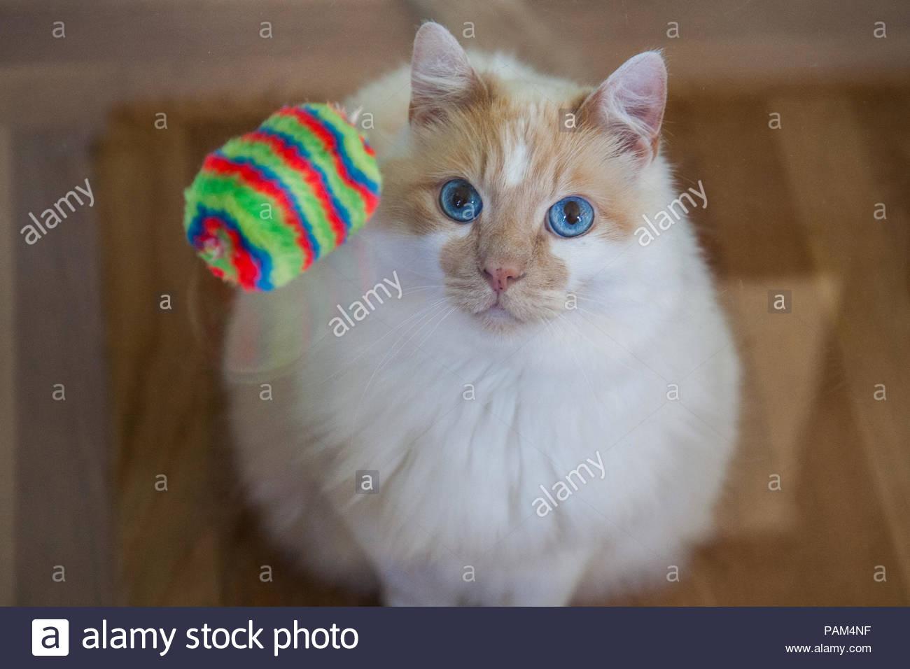 Weiß und Orange Seal Point Katze mit blauen Augen betrachten oben Katze spielzeug von unter Glas Tisch Stockbild