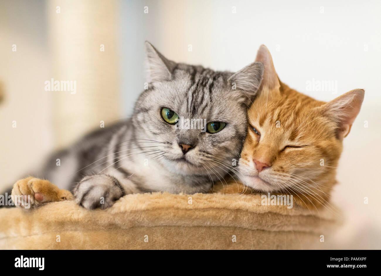 Britisch Kurzhaar und Hauskatze. Zwei erwachsene Katzen nebeneinander liegen auf einem pet-Bett. Deutschland. Stockbild