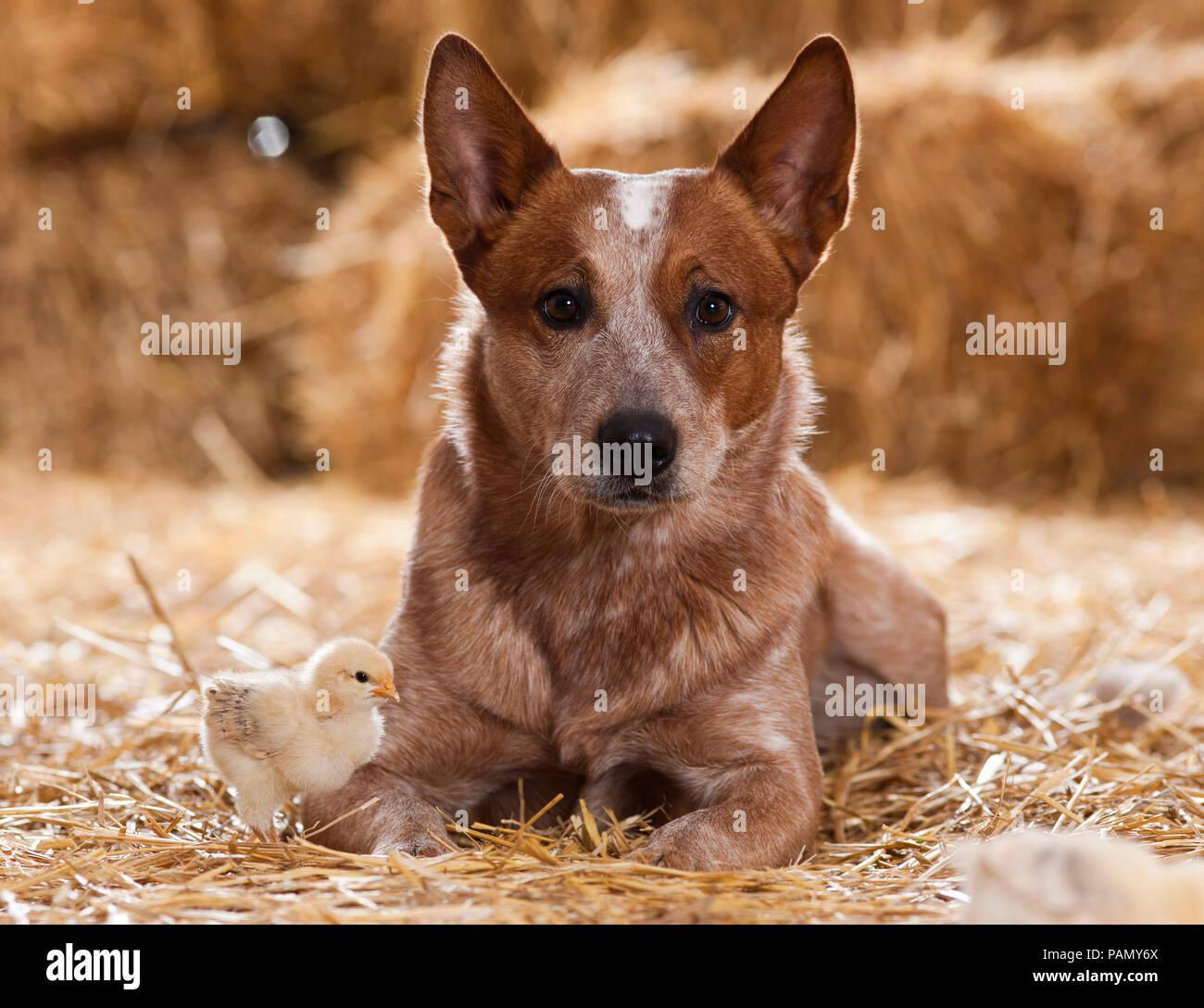 Australian Cattle Dog und ein Huhn Küken in einer Scheune. Deutschland.. Stockbild