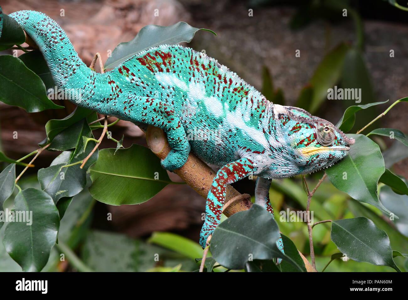 Eine bunte Chameleon Wanderungen rund um seine Umgebung zeigen ihre Schönheit. Stockbild