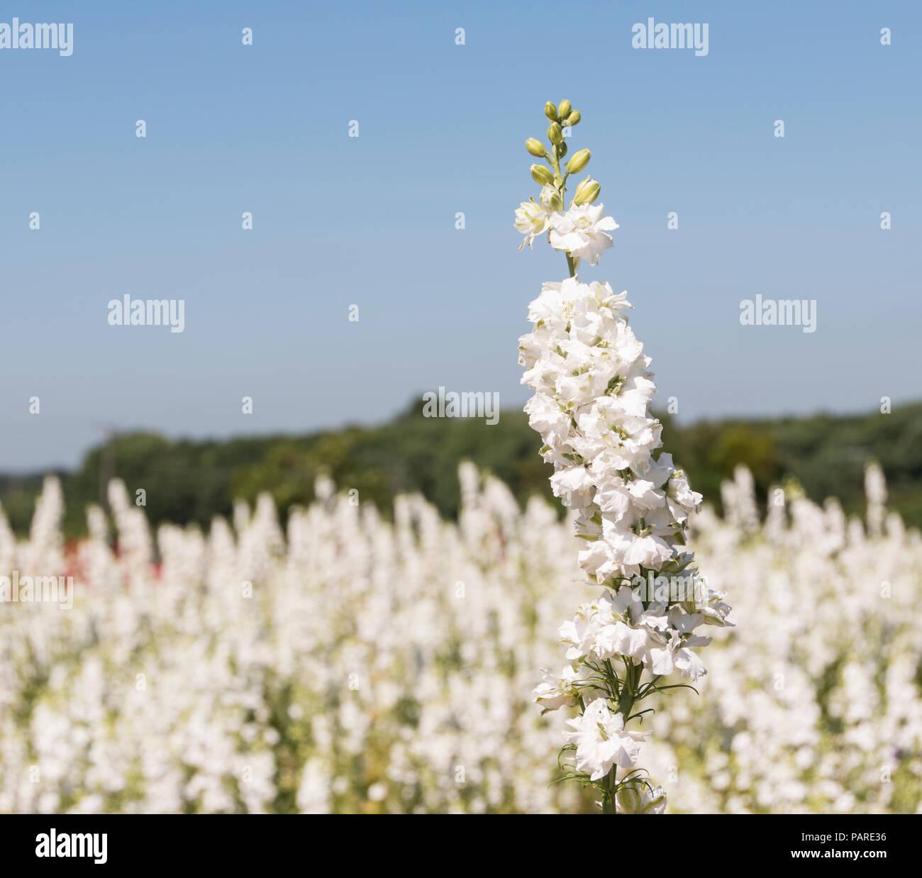 Felder von Blumen für Konfetti in der Nähe von Weida in England angebaut. Stockfoto